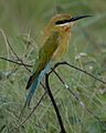 Blue tailed bee-eater in the rain - Flickr - Lip Kee.jpg
