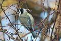 Blue tit, Parus caeruleus IMG 9940.JPG