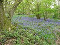 Bluebell woods on Helmeth Hill in May - geograph.org.uk - 1866078.jpg