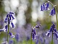 Bluebells (detail) (14096961212).jpg