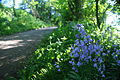 Bluebells along Whitwell Ashknowle Lane 2.JPG