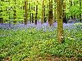 Bluebells at Newmillerdam - geograph.org.uk - 808832.jpg