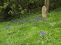 Bluebells in Horkstow Churchyard - geograph.org.uk - 411421.jpg