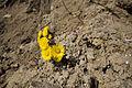 Blumen an der Steilküste in Sassnitz auf Rügen 2.jpg