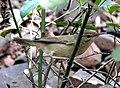 Blyth's Reed Warbler Acrocephalus dumetorum by Dr Raju Kasambe DSCN3298 (14).jpg