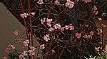 Bodnant Schneeball im Valentingarten 05.jpg