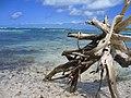 Bois flotté, espace protégé de Petite-Terre en Guadeloupe.jpg