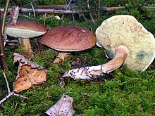 польский белый гриб когда растет