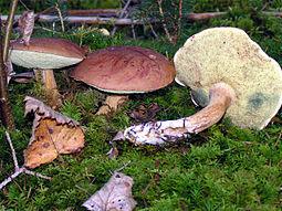 польский боровик гриб фото