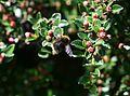 Bombus (Pyrobombus) pratorum - Early bumblebee - worker - Flickr - S. Rae.jpg