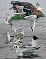 Bonaparte's Gull from The Crossley ID Guide Eastern Birds.jpg