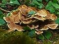 Bondarzewia occidentalis Chen, Cui & Dai 550419.jpg