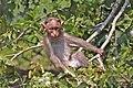 Bonnet macaque (Macaca radiata) juvenile.jpg