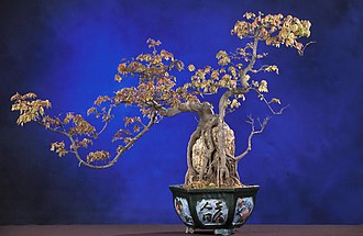 National Bonsai Foundation - This trident maple, Acer buergerianum, has its foliage and stems trimmed in the shape of a dragon. This is in the Chinese Penjing Collection.