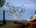 Bonsai tree cherry7.JPG