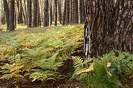 pădurea de pădure cu varicoză)