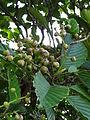 Botanical Garden of Peradeniya 60.JPG