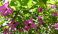 Bougainvillea glabra serres du jardin du Luxembourg.JPG