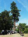 Bourdeilles Séquoia.JPG