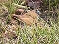 Bouteloua gracilis (3797547878).jpg