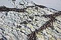 Brachidontes domingensis (Domingo mussels) encrusting intertidal-zone aragonitic limestone (San Salvador Island, Bahamas) 5 (16000362121).jpg