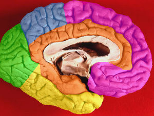 Limbic lobe - Image: Brain lobes medial surface with limbic lobe