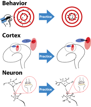 Kinesiology - Image: Brain neuroplasticity after practice