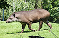 Brazilian tapir (T. terrestris).jpg