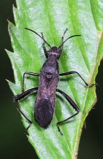 Alydinae subfamily of insects