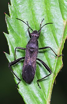 Broad-headed Bug - Alydus eurinus, Julie Metz Wetlands, Woodbridge, Virginia.jpg