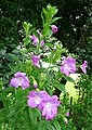 Broad-leaved Willowherb, Epilobium montanum - geograph.org.uk - 918742.jpg