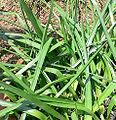 Brodiaea laxa.jpg