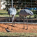 Brolga at Boulia Wildlife Haven Herbert St Boulia Queensland P1030315.jpg