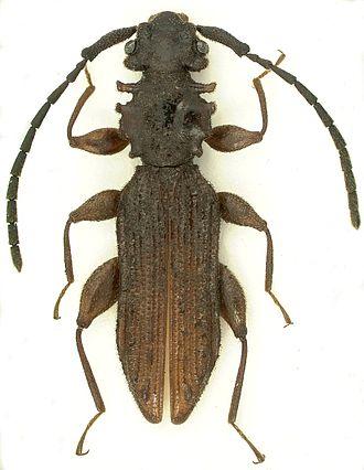 Silvanidae - Dorsal habitus of Brontoliota lawrencei.