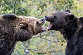 Brown Bear Image 3.jpg