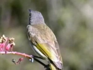 Fichier:Brown Honeyeater fairhill.ogv
