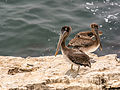 Brown Pelicans at Wilder Ranch State Park (14703027294).jpg