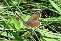Brown argus (Hav) (8063597595).jpg