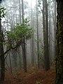 Bruma en el bosque de Cumbre Vieja (La Palma).jpg
