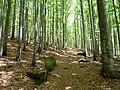Buchenwald im Gipfelbereich des Lusen.jpg