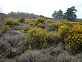 Budby South Forest - Heathland View - geograph.org.uk - 774267.jpg