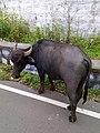 Buffalo-4-yercaud-salem-India.jpg
