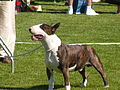 Bullterrier (3666476530).jpg