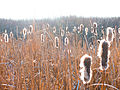 Bulrushes in frozen wetland.jpg