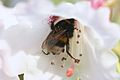 Bumble-bee on Rhododendron.jpg