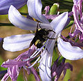 Bumblebee Agapanthus close.jpg