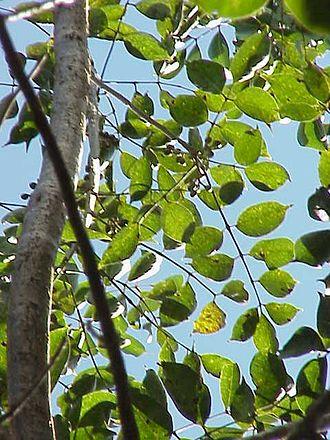 Burseraceae - Bursera simaruba (Gumbo-limbo)