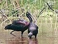 Burung Ibis Rokoroko2-TamanNasionalWasur.jpg