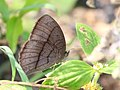Bush brown from Melagiri TN IMG 6523.jpg