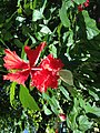 Butterfly on red Hibiscus flower.jpg